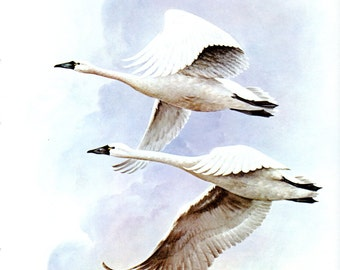Graceful WHISTLING SWAN Bird Print