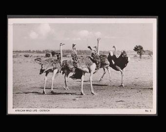 African Wildlife Ostrich Vintage Postcard