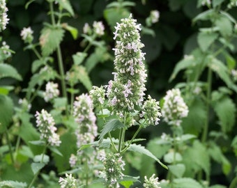 Catnip 100+ Seeds, Untreated and Organically Grown