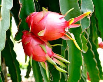 Dragon Fruit Plant, Pitaya, Cactus, Organic,  Large Colorful Fruit, Houseplant or Garden