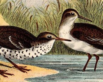 "1896 Rare ANTIQUE BIRD PRINT ""Common & Spotted Sandpiper"" Chromolithograph"