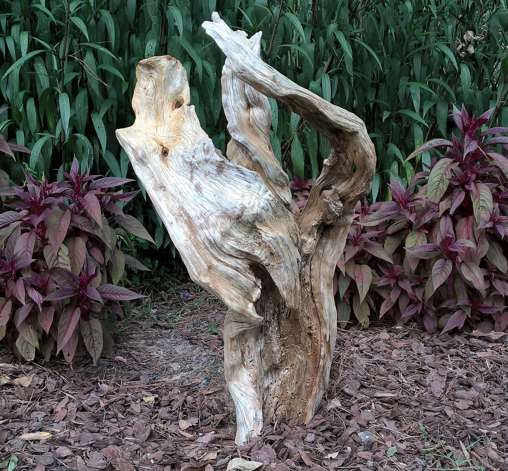 Large cedar stump with Celosia in background.  Great for landscape.
