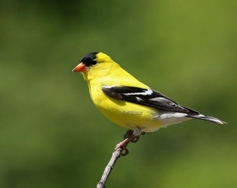 American Goldfinch, male,  photo, print, bird, birds, nature, home decor, wall art photography, nature photography, free shipping