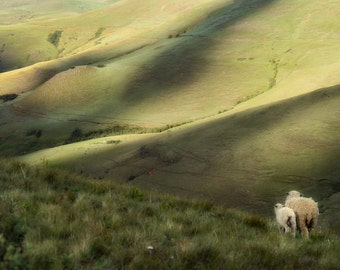 Sheep on the South African Plains