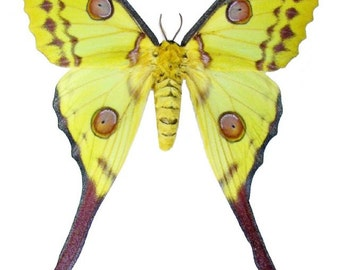 Supplies for your artworks - dried insects - :  1 pair of the moon moth  argema mittrei , unmounted, FREE SHIPPING