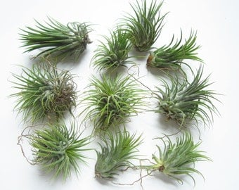 Ionantha Guatemala AKA Air Plant-Tillandsia Air Plants-Terrarium Plants-Terrarium Supplies-Home Decor-Beach Wedding Decor-Terrarium Plants