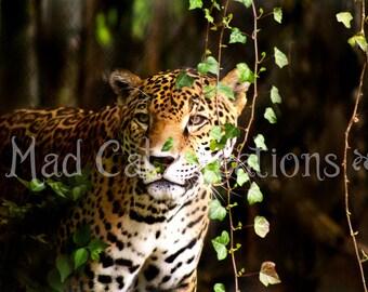 Hiding Jaguar