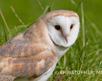 Barn Owl by Christopher Mills - A4, A3 or A2 Fine Art Giclee Photographic Print | Nature Photography - Owls/Barn Owls/Birds/British Wildlife