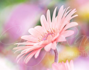 Flower, Photography, Print, Affordable, Under 10 Dollars, 8x10, Pink, Gerber Daisy, Macro, Soft, Floral