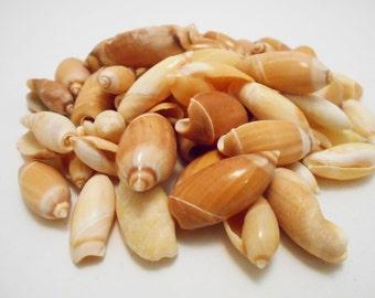 "25 Beautiful Little Red Olive Gibbosa Shells Seashells (3/4""-1 1/2"") Beach Craft"