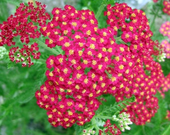 Red Yarrow (2000, 4000=>64,000 seeds) herb perennial butterfly homeopathy #206