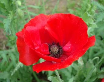 Red Shirley Corn Poppy (1500 thru 180,000 seeds) Bulk wildflower flower #83