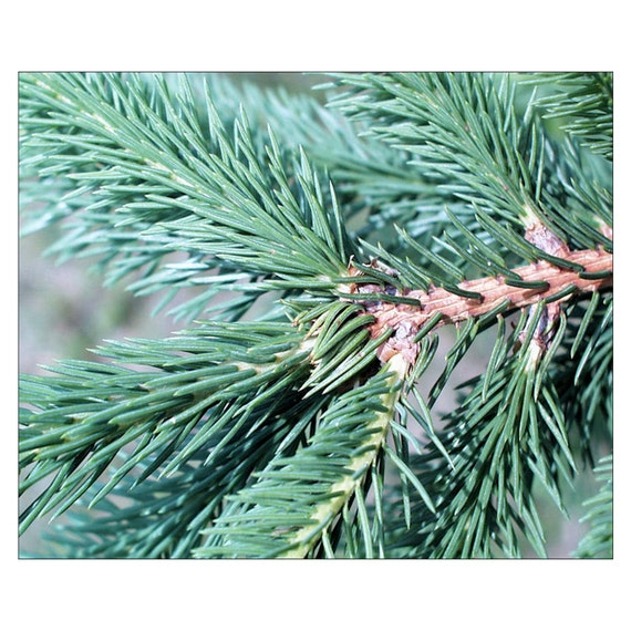 Norway Spruce Picea Abies 12 Potted Plants In 2 5 Pot