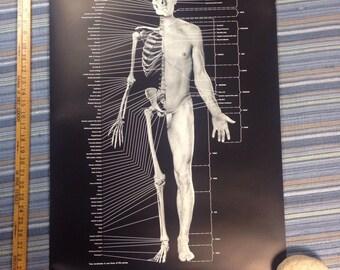 "Vintage anatomy skeleton medical poster Kodak print 20""x32"""