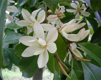Michelia Macclurei Rare Magnolia Tree, 8/100 Seeds Extremely Fragrant Ornamental