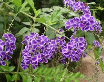 Duranta Erecta Repens Geisha Girl, Shrub Tree 20-500 Seeds, Attracts Butterflies And Hummingbirds