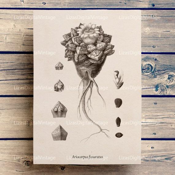 Cactus print, Vintage graphics, Cactus art print, Printable artwork, Cactus printable, Cactus, Digital download cactus, PNG JPG HQ 300dpi