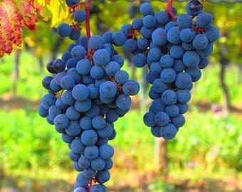 2 Faith - Grape Plant/Vine - Bluish Purple Seedless - Fall Shipping