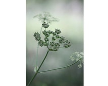 Queen Anne's Lace Photo - Wild Grass Photo - Green - Plant - Botanical Photo - Vertical - Digital Photo - Digital Download - Green Design