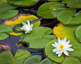 Garter Snake on Water Lilies: Fine Art Nature Photography