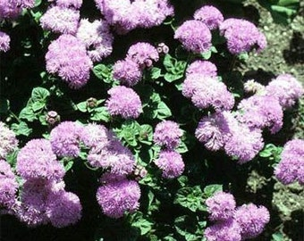 Pink Ageratum Flower Seeds/Mexicanum/Annual   50+