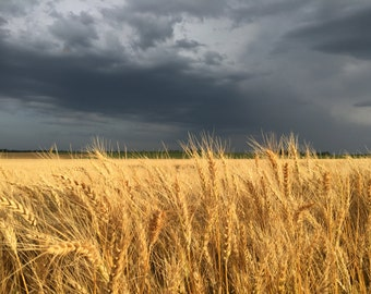 Stormy Wheat