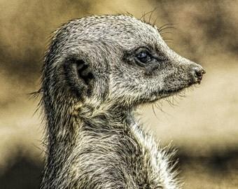 Meerkat - Fine Art Print A3