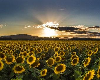 Gazing Glory - Sunflower Field