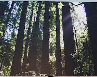 Canvas Print 18x24 - California Redwoods