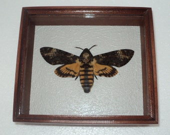 Real framed DEATH'S HEAD Moth in the movie silence of the lambs!
