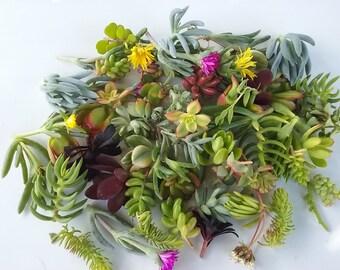 25 Succulent Cuttings