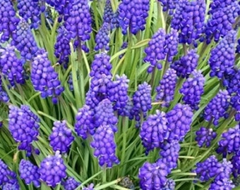 20 Grape Hyacinth Bulbs PURPLE FLOWERS Multiplies