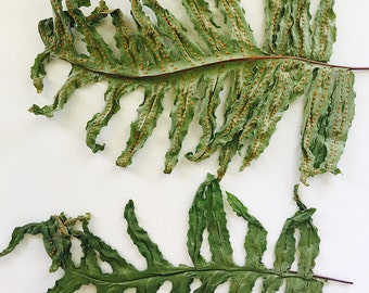 Three (3) PRESSED FERN LEAVES, Naturally Pressed Leaves for Arts & Crafts, Home Decor, Wall Hangings, Creative Art Pieces