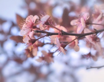 Pretty in Pink!  Fine Wall Art Photography Cherry Tree 8x10