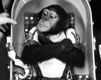 Ham the Chimp Before His Launch into Space on January 31, 1961 Chimpanzee Astrochimp - 5X7 or 8X10 NASA Photo (AA-984)