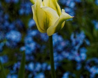 White Tulip On Blue deco (flower, blossom, FineArt)