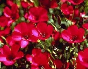 75+ Scarlet Red Flax / Annual Flower Seeds