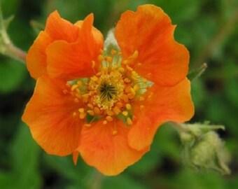 50+ Tangerine Orange Geum / Perennial Flower Seeds