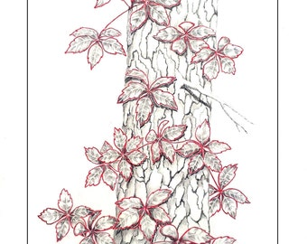 Clinging Vine by J.E.Dach Virgina Creeper, nature,
