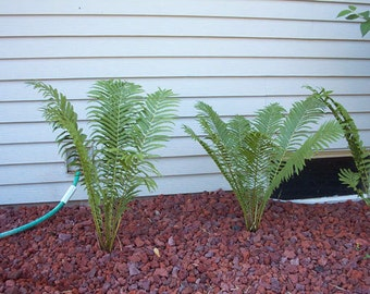 5 OSTRICH GLADE FERN rhizome-roots-bulbs