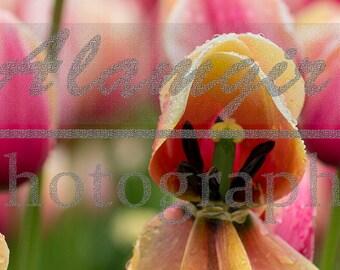 A Macro Shot of a Open Tulip