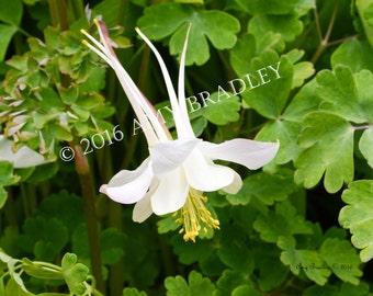 White Columbine Flower, Limited Edition Color Photographic Print, Single Gallery Block, Nature Photography, Wall Decor