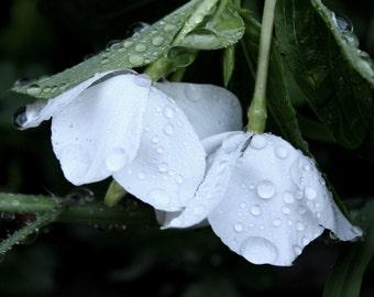 Raindrops On White Flower Photography Print 8.5 x 11 Inch Print