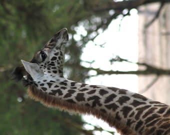 Baby Giraffe Close-up Photograph