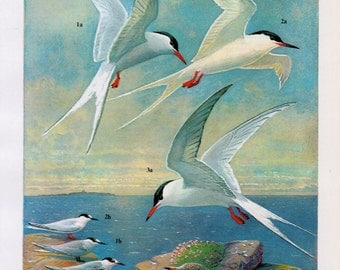 Vintage Bird Lithograph, 1960s Vintage Bird Lithograph featuring Puffin's, Razorbill's and Guillemots