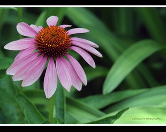 Cone Flower Note Card 41/2 x 7
