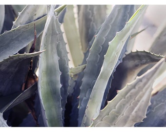 Nature Photograph - Succulent Photograph - Flower Photograph - Winter Agave 5 - Fine Art Photograph - Alicia Bock -Botanical Art- Floral Art