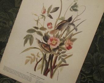 Vintage Bird Illustration - Audubon Book Plate - Seaside Sparrow
