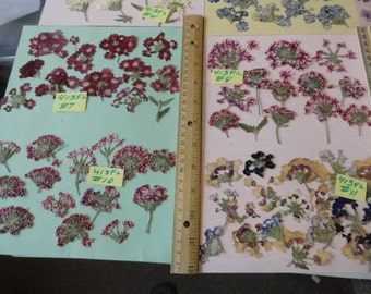 Choose your Real Verbena Flower Clusters Grown, Pressed and Preserved in Alaska 413 FL
