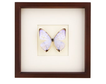 Framed Pearl Morpho Butterfly Brown Frame Display